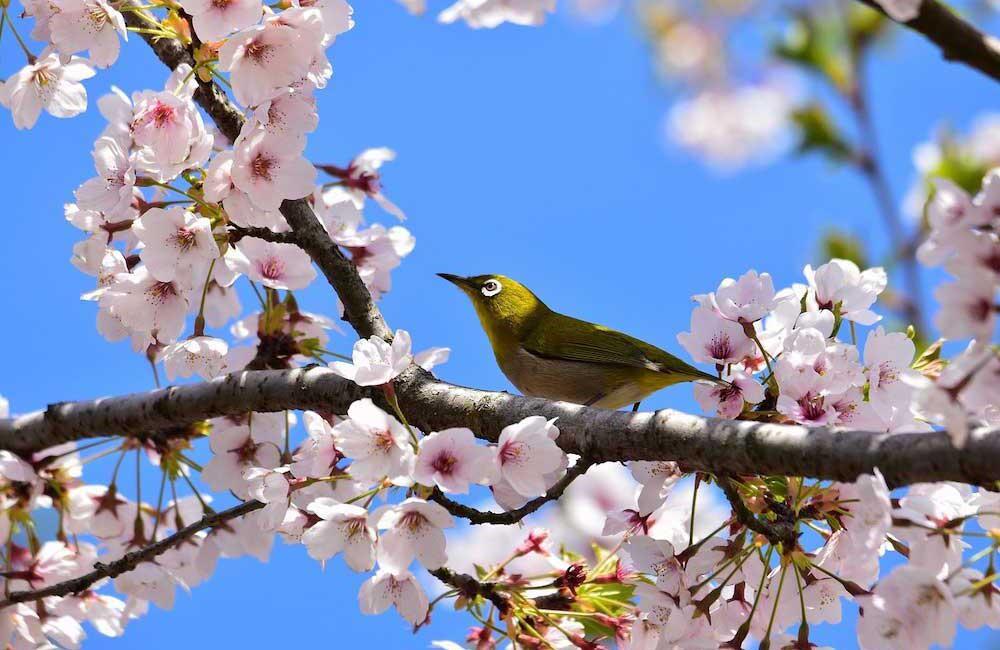 英語で説明する【お花見と桜】